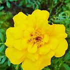 Yellow Marigold! by SpikeyRose