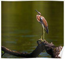 Tricolored Heron (Egretta tricolor) Poster