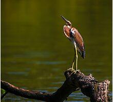 Tricolored Heron (Egretta tricolor) Photographic Print