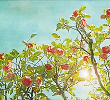 Pink Camellia japonica Blossoms and Sun in Blue Sky by BrookeRyanPhoto