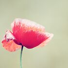 Vintage Poppy by syoung-photo