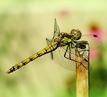 Suborder Anisoptera by Yool