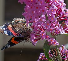 Red Admiral by John Hooton