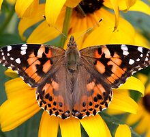 Painted Lady Butterfly by hummingbirds