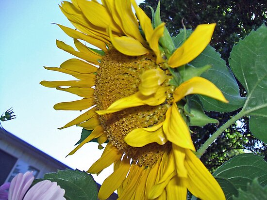 Sun Flower in the Sun by coppertrees