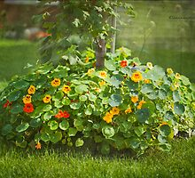 Lush Flower Bed - Nasturtium by Yannik Hay