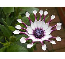Cute Cape Daisy Ready for the Bees! Photographic Print