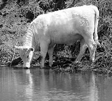 White Bull by Jean Gregory  Evans