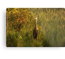 Sandhill Crane Standing on Shoreline Metal Print