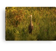 Sandhill Crane Standing on Shoreline Canvas Print