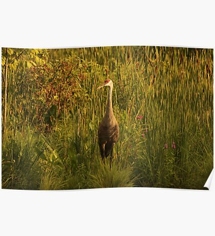 Sandhill Crane Standing on Shoreline Poster