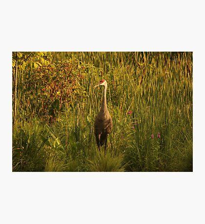 Sandhill Crane Standing on Shoreline Photographic Print