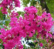 Crepe Myrtle in Bloom by Scott Mitchell