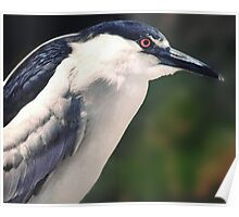 Black Crested Night Heron Poster