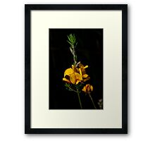 Aotus Ericoides - Eggs & Bacon Framed Print
