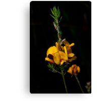 Aotus Ericoides - Eggs & Bacon Canvas Print