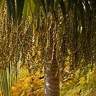 Green palm fruit by wysiwyg-aust