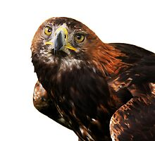 Golden eagle looking at camera close up by Linda More