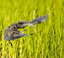 Young Night Heron - Yippie I can Fly by Photography by TJ Baccari