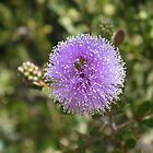 Purple puff by wysiwyg-aust