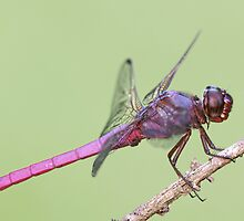 Roseate Skimmer Dragonfly by Bonnie T.  Barry