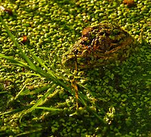 Gator in Duckweed by Paul Wolf