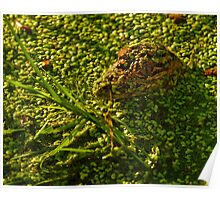 Gator in Duckweed Poster