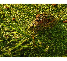 Gator in Duckweed Photographic Print