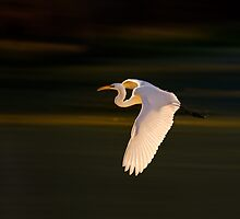 Great Egret in Flight by Paul Wolf