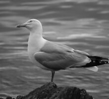 seagull by HelliBerry