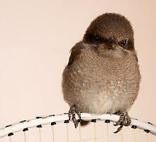 Baby Sparrow.... by Qnita