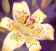 Yellow Lily by syoung-photo