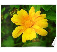 beautiful flower of yellow calendula Poster