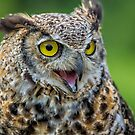 Great Horned Owl  by Daniel  Parent