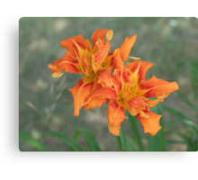 Day Lily- Hemerocallis fulva. Canvas Print