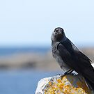 Jackdaw by the Sea by Michael G Devereux