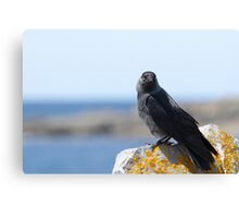 Jackdaw by the Sea Canvas Print