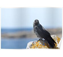 Jackdaw by the Sea Poster