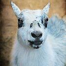 Ms. Pygmy Goat ~ by Renee Blake