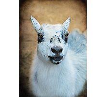 Ms. Pygmy Goat ~ Photographic Print