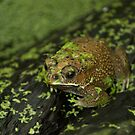 Frog by Vac1