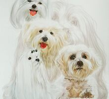 Maltese with Ghost by BarbBarcikKeith