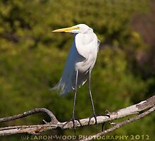 A posing great egret by fearonwoodphoto
