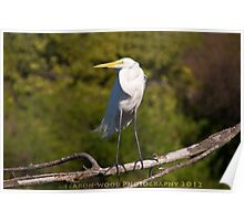 A posing great egret Poster
