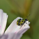 Traveling Spotted Beetles on a Flower Petal by TheBluePlanet