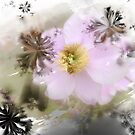 Anemone by Greta  McLaughlin
