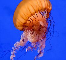 Sea Nettle by fearonwoodphoto