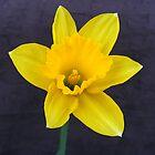 Bright Yellow Daffodil by Forfarlass