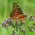 Tawny emperor butterfly by jozi1