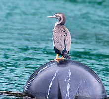 Shag or Cormorant by Yukondick